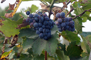 виноград4